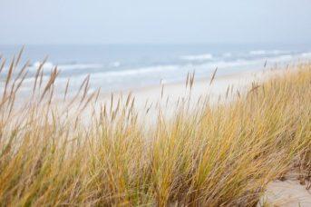 dune barbâtre
