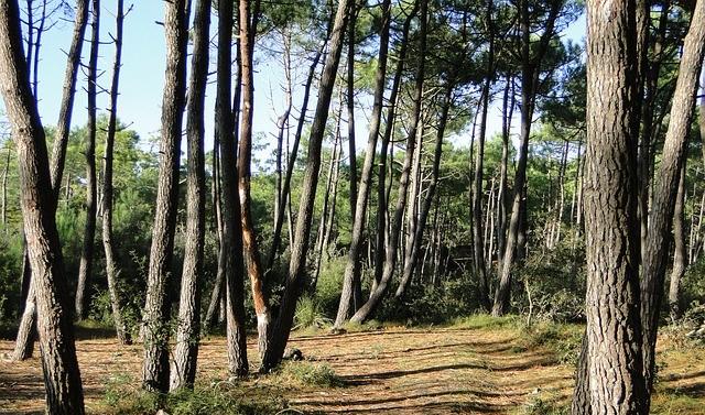 forêt de pins barbâtre